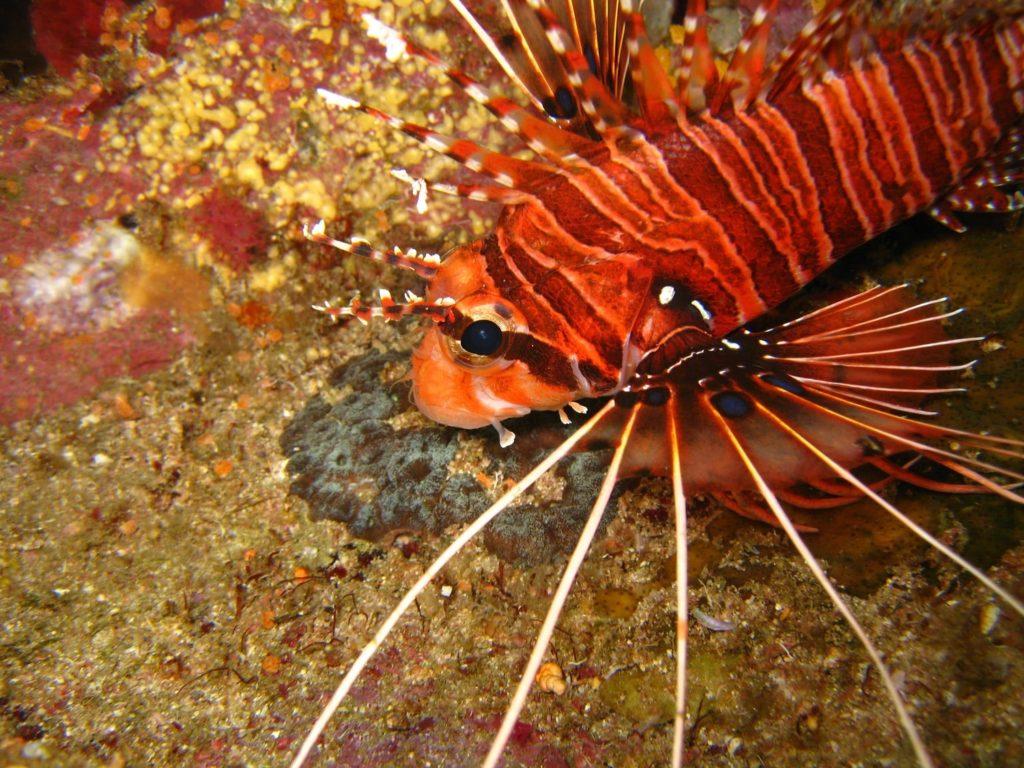 Racha Noi lionfish