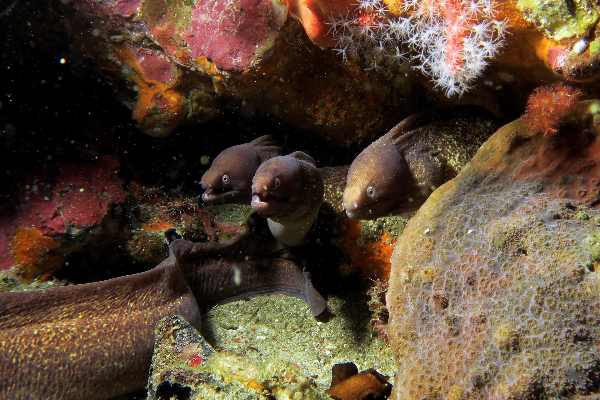 White Eyed morays