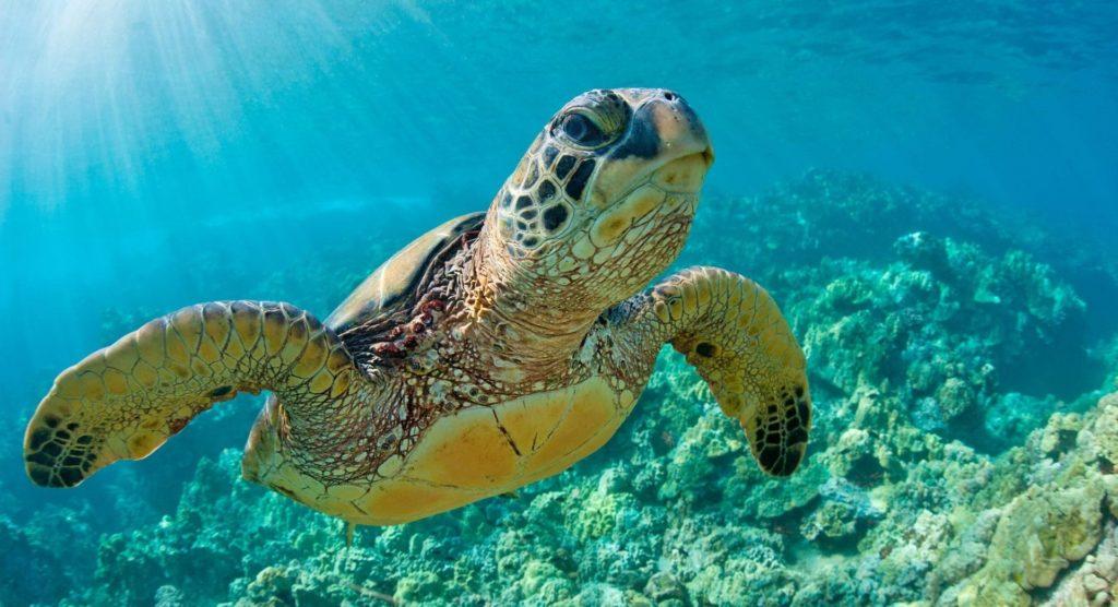 Racha Yai turtle