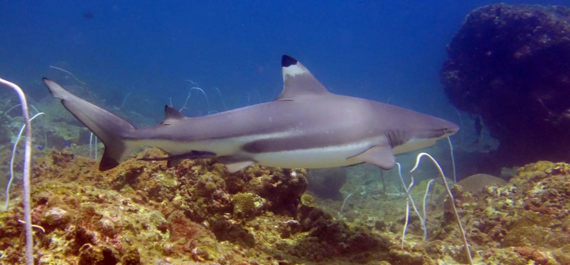 Black tip reef shark at Palong Wall