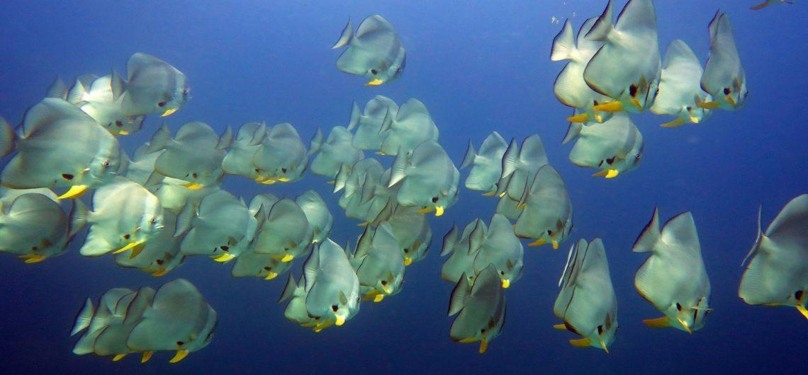 Batfish Bend Similan Islands