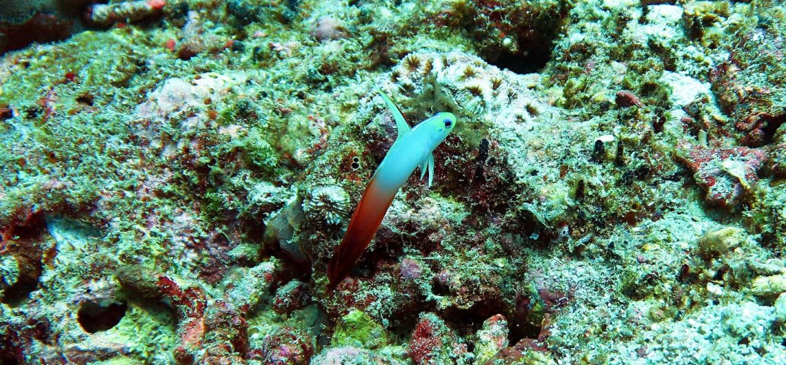 Nemateleotris magnifica Similan Islands