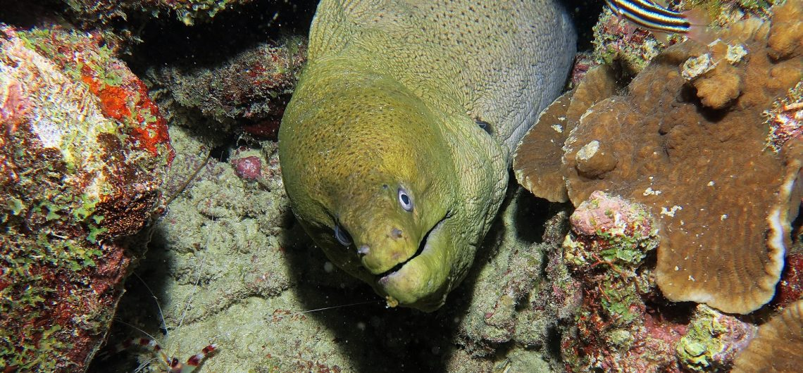 Giant Moray Similan Islands
